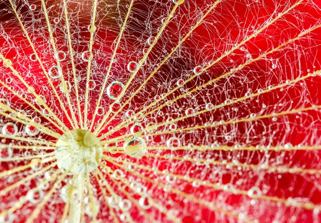 Red Petal Closeup Graphic